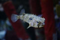 240px chilomycterus schoepfii in tropicarium oceanarium budapest 02