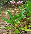 Chimaphila menziesii-Oregon.jpg