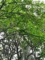 Chiminango (Pithecellobium dulce) (14222487338).jpg