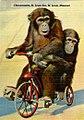 Chimpanzees (NBY 436954).jpg