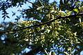 Chinese elm (Ulmus parvifolia) (22444301571).jpg