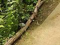 Chinesische Zwergwachteln (Excalfactoria chinensis) Schmetterlingspark Uslar.JPG