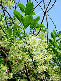 Chionanthus virginicus (detail) - Tower Hill Botanic Garden