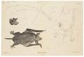 Chiromeles caudatus - 1700-1880 - Print - Iconographia Zoologica - Special Collections University of Amsterdam - UBA01 IZ20800069.tif