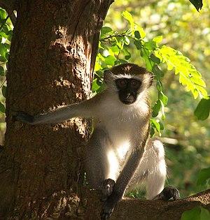 Alarm signal - Vervet monkey in Dar es Salaam.