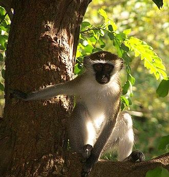 Cercopithecini - Vervet monkey (Chlorocebus pygerythrus)