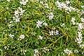 Choisya × dewitteana, Christchurch Botanic Gardens, Canterbury, New Zealand 03.jpg