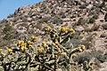 Cholla Cylindropuntia imbricata in Embudo Canyon (7897323270).jpg