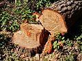 Chopped Pine (27489871560).jpg