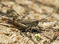 Chorthippus brunneus LC0177.jpg