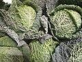 Choux verts.jpg
