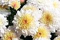 Chrysanthemum x grandiflorum Roxanne 5zz.jpg