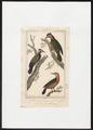 Chrysocolaptes festivus - 1838 - Print - Iconographia Zoologica - Special Collections University of Amsterdam - UBA01 IZ18700001.tif