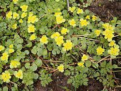 Chrysosplenium alternifolium BavariaMay2005a.jpg