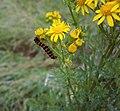 Cinnabar Moth Caterpillar - geograph.org.uk - 486930.jpg