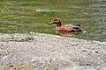 Cinnamon teal (Anas cyanoptera) on Yellowstone River (18f26514-07e2-440b-96ec-810993ec799c).jpg