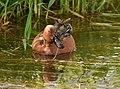 Cinnamon teal on Seedskadee National Wildlife Refuge (34376383163).jpg