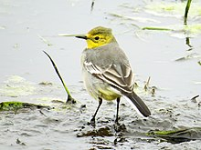 Citrine Wagtail female, Lynemouth Flash, Northumberland 7.jpg