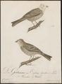 Citrinella citrinella - 1800-1812 - Print - Iconographia Zoologica - Special Collections University of Amsterdam - UBA01 IZ16100219.tif