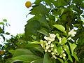 Citrus sinensis (15158537957).jpg