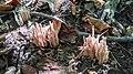 Clavaria fumosa 99421735.jpg