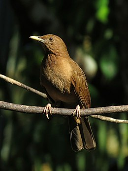 Clay-colored Thrush - Flickr - treegrow.jpg