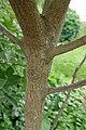 Clerodendrum trichotomum in Jardin des plantes 07.jpg