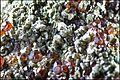 ClinochloreEtGrenatItaliePreovenanceAlaRefMGL35323 MuséumHistoireNaturelleLille GLAM2016 PhotoLamiot 04.jpg