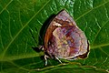 Close wing position of Male Flos areste Hewitson, 1862 – Tailless Plushblue DSC 5762.jpg