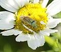 Closterotomus norwegicus - Flickr - S. Rae.jpg