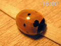Coccinella septempunctata emerging from pupa4.png