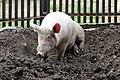 Cochon domestique (Sus scrofa domesticus) (2).jpg