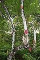 Cocoa Tree (Theobroma cacao) (8597925364).jpg