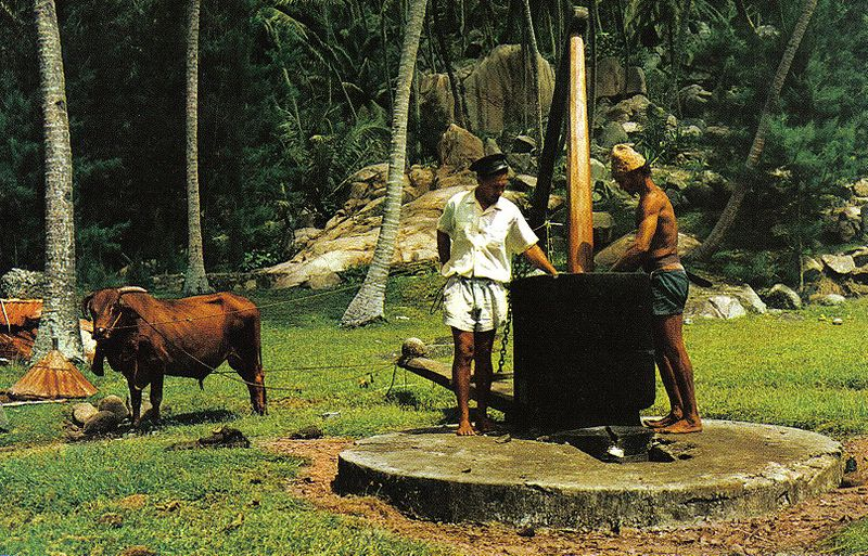 Ox-powered mill for making coconut oil in Seychelles