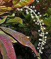 Codiaeum variegatum (Croton) in Hyderabad, AP W IMG 0473.jpg
