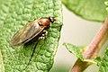 Coenomyia.ferruginea.female.jpg