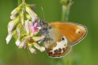 <i>Coenonympha arcania</i> species of insect