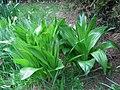 Colchicum byzantinum leaves2.jpg