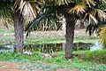 Colección Palmetum de Santa Cruz de Tenerife 17.JPG