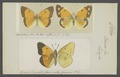 Colias - Print - Iconographia Zoologica - Special Collections University of Amsterdam - UBAINV0274 052 06 0002.tif