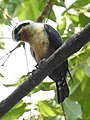 Collared Falconet Microhierax caerulescens by Dr. Raju Kasambe DSCN2045 (1).jpg