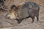 Collared peccary02 - melbourne zoo.jpg