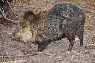 Collared peccary species of mammal