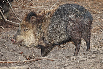 Anachronisms in the Book of Mormon - A collared peccary