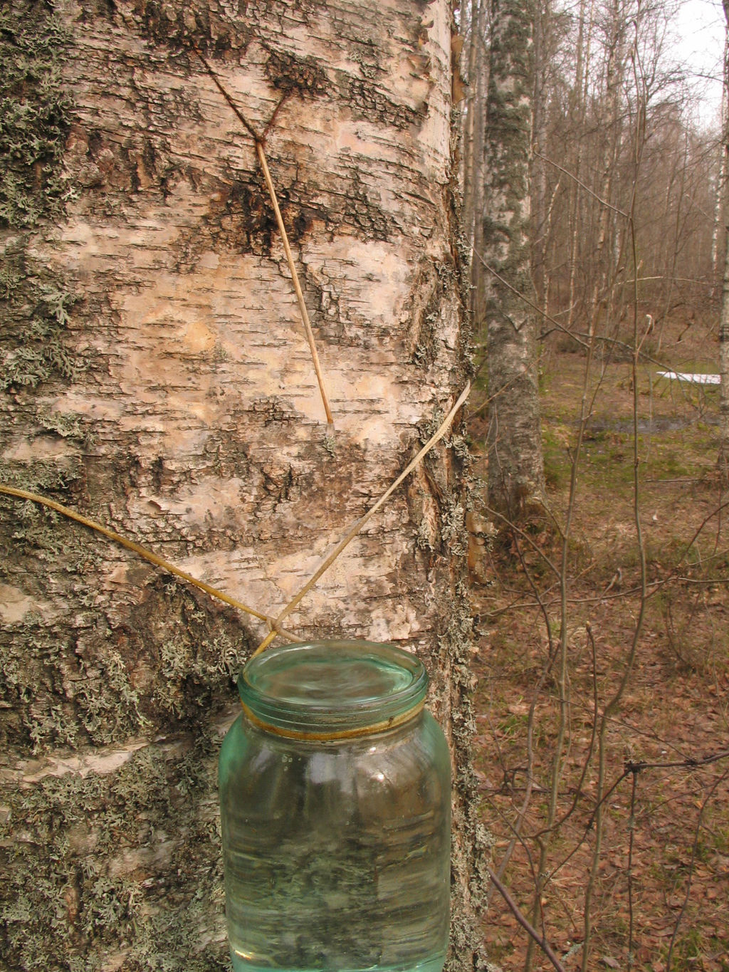 Collecting of birch sap