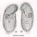 Colpidium colpoda from Kahl.jpg