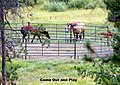 Come Out and Play, Horses, Grand Lake, CO 8-2007 (5991904854).jpg