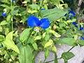 Commelina communis aka the Asiatic dayflower.jpg