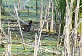 Common Gallinule (picking up more nesting material) (34872531102).jpg