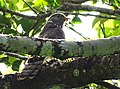 Common Hawk Cuckoo - Mugilu Homestay 02.jpg